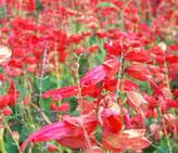 赤色の花写真