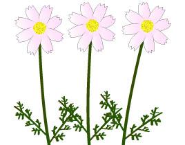 9月に咲く複数のピンクのコスモス