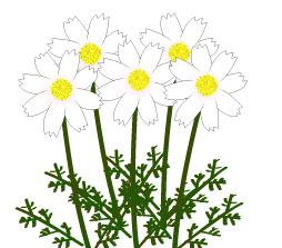 秋に咲く複数の白いコスモス