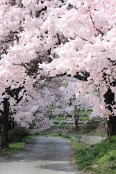 絵画風の桜の木