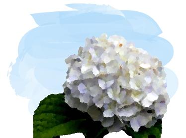 白色の紫陽花/梅雨時