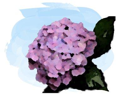 6月頃咲くアジサイ/紫