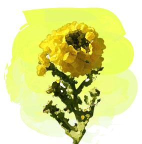 春に咲く菜の花