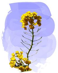 春野菜で有名な菜の花