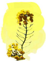 絵画の菜の花