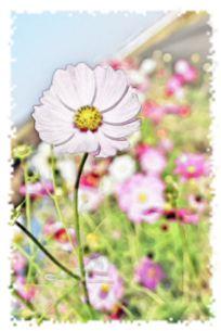 秋の花・白色のコスモス