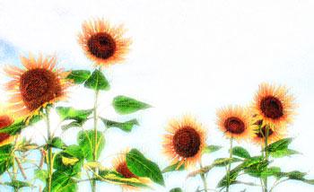 強い太陽の日差しがあたる向日葵