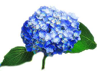 紫陽花あじさいのイラスト素材フリー商用利用も可能な無料イラスト