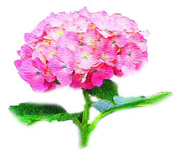 梅雨時に開花するアジサイ