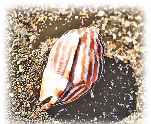 砂浜に落ちていた巻貝の殻