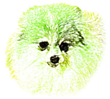 Pomeranian正面