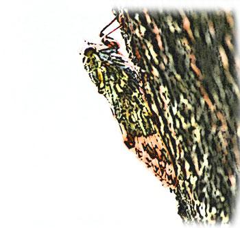 樹木の色と擬態したセミ