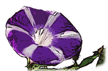 青紫アサガオ