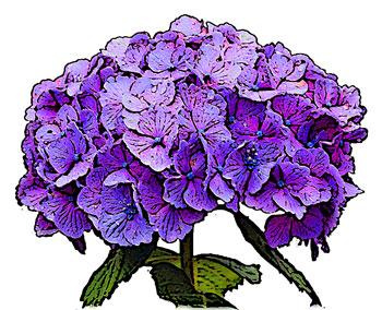 紫あじさい&枠線あり