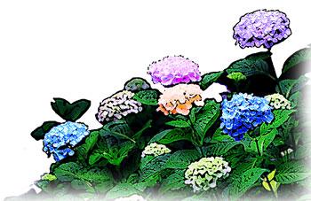 色彩豊かなアジサイの群生