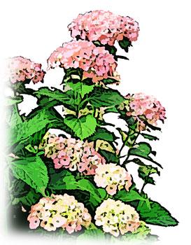 道端に咲いたピンク色のあじさい