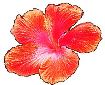 ハワイアンハイビスカス