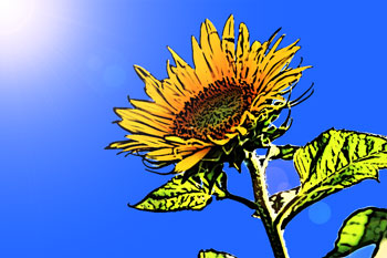 夏の暑さに負けず逞しく咲くヒマワリ