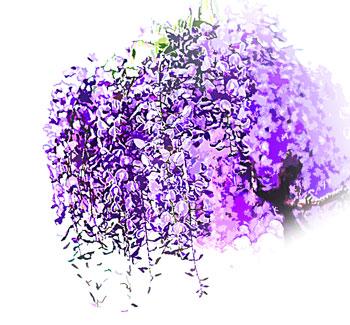 4月から5月頃に咲くマメ科の藤(ふじ)