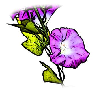 青紫色のアサガオ