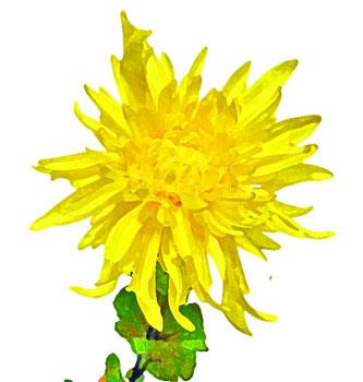 菊の画像 p1_37