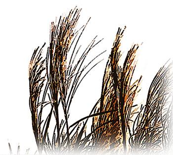 秋に群生するススキ