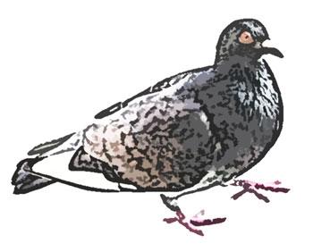 足を上げて歩くハト横 足を上げて歩くハト横  鳩(はと)のイラスト素材フリー