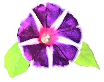 紫朝顔押し花風真上
