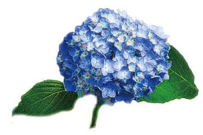青色のふっくらと丸い紫陽花