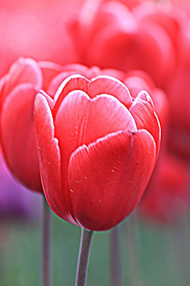 春に咲く赤い花のチューリップスマホ壁紙