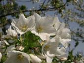 大島桜写真
