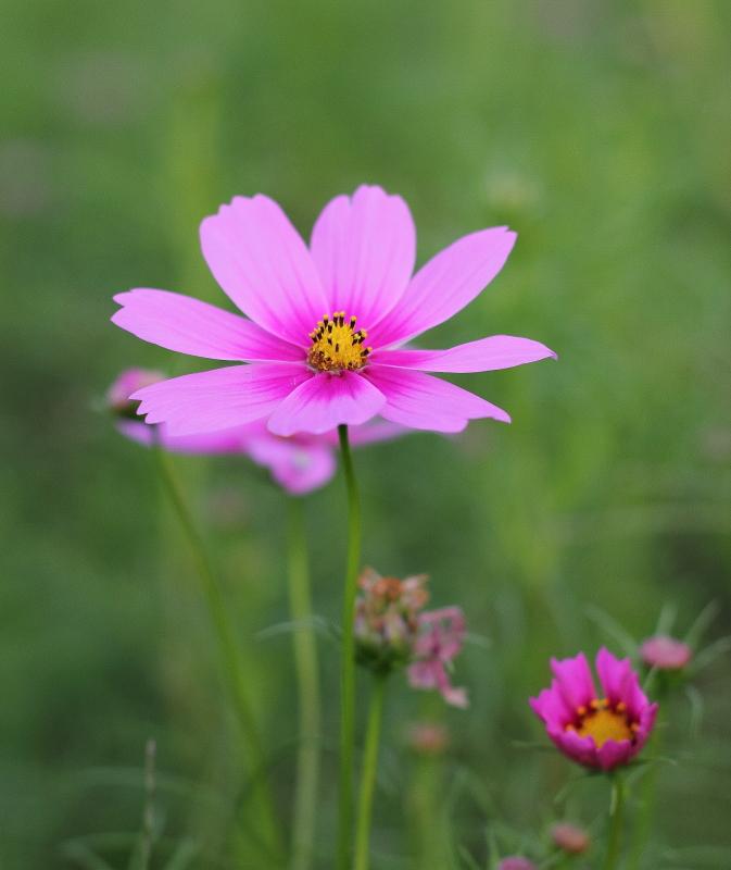 大きいサイズのまっすぐ伸びたピンクの花