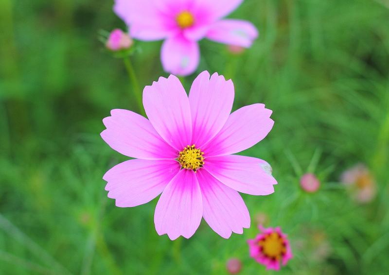 大きいサイズの可愛いピンクのコスモス