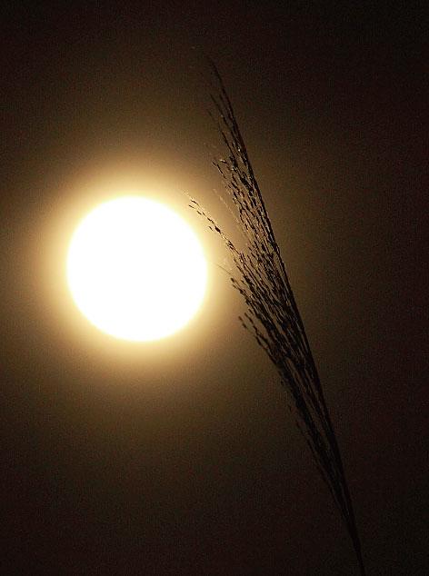 大きいサイズの満月とススキ