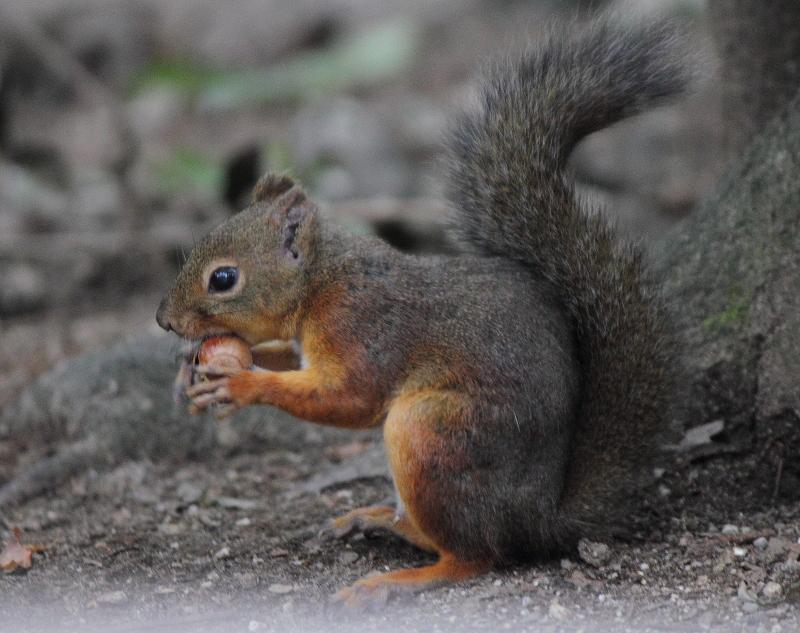 大きいサイズのクルミを食べうる栗鼠