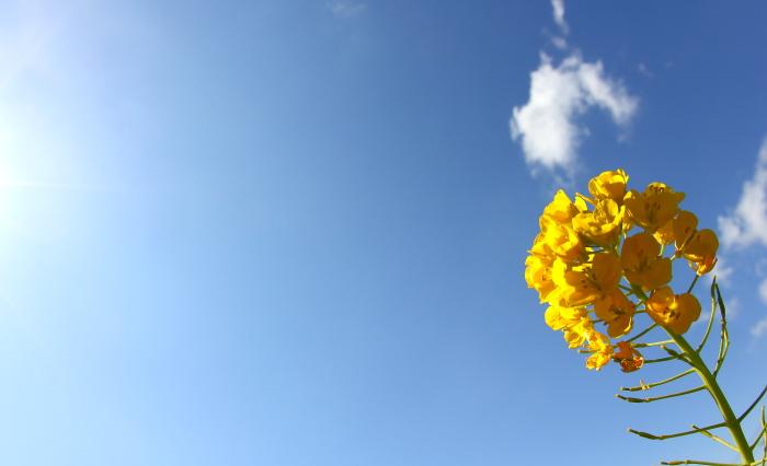 大きいサイズの一輪の菜の花と青空