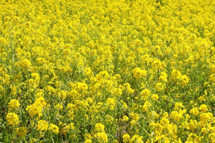 大きいサイズの菜の花畑