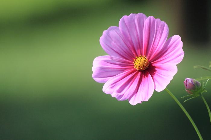 大きいサイズのピンク色のコスモス