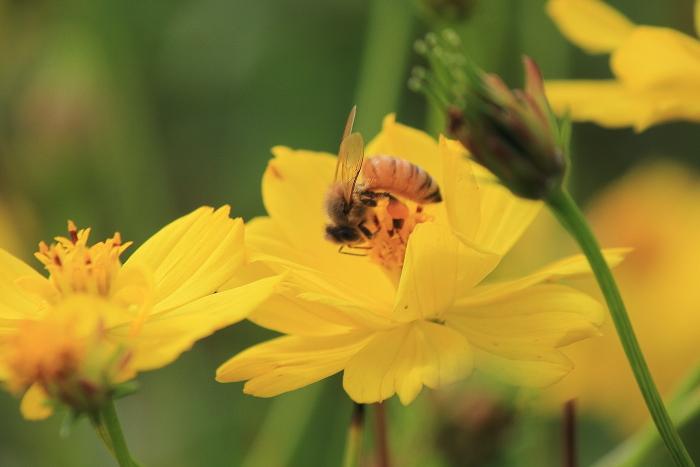 大きいサイズの蜜を吸うミツバチ