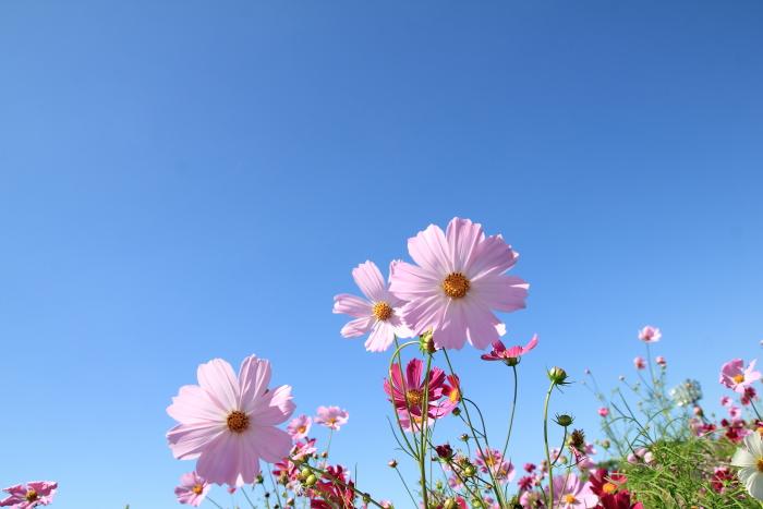 大きいサイズの青空とピンク色のコスモス