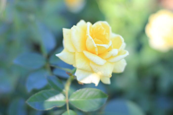 大きいサイズの黄色の薔薇