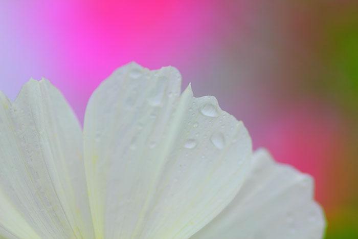 大きいサイズの白色の花弁と鮮やかな色彩の背景
