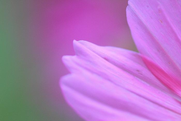 大きいサイズの色鮮やかな背景とピンク色の花弁