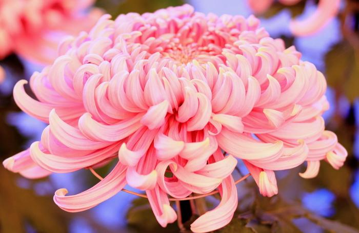 「菊」の画像検索結果