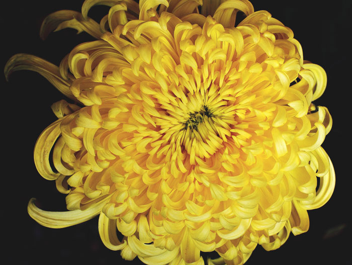 大きいサイズの真上から見た大菊