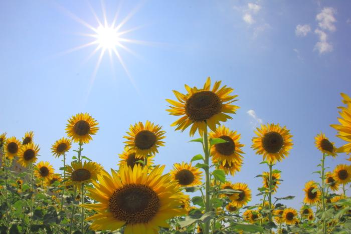 大きいサイズの照りつける太陽と向日葵