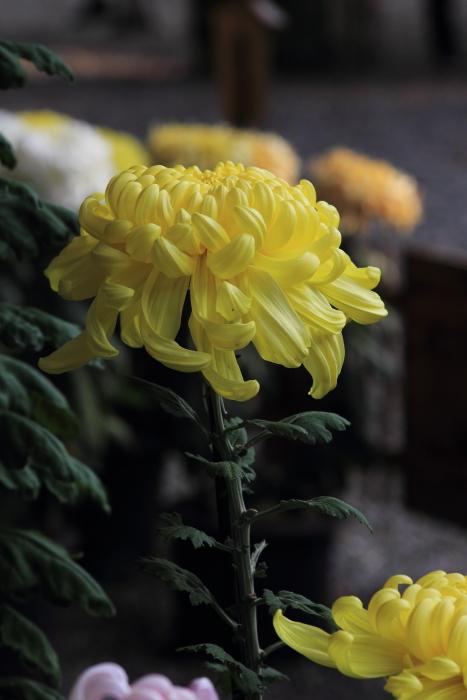 大きいサイズの11月初旬のお花