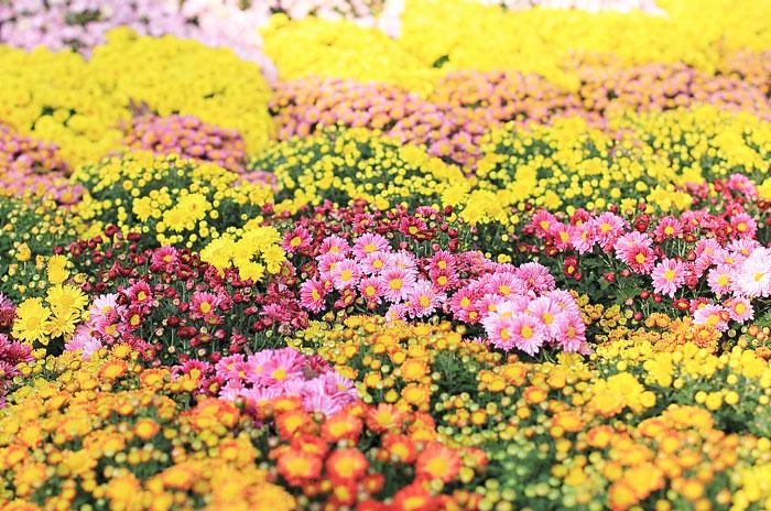 大きいサイズの色鮮やかなお花畑