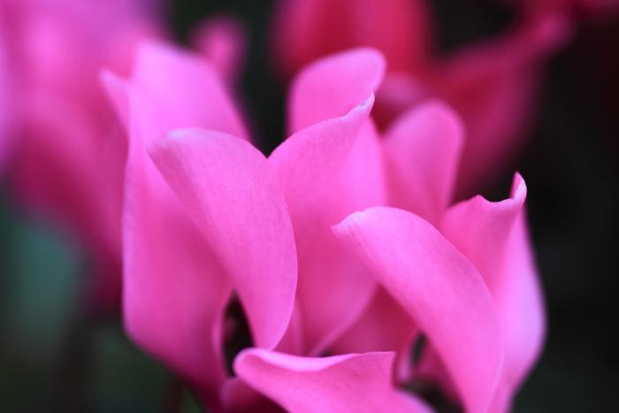 大きいサイズのピンク色のシクラメン