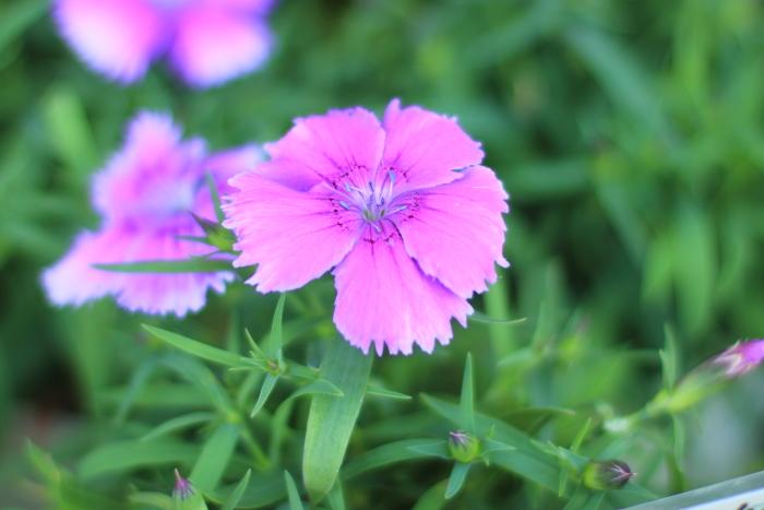 大きいサイズの紫色のナデシコ